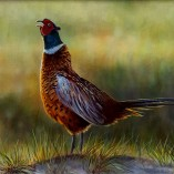 Wayne-Westwood-Sunlit-Pheasant-NOFRAME