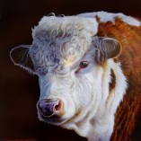 Wayne-Westwood-Hereford-Bull-NOFRAME